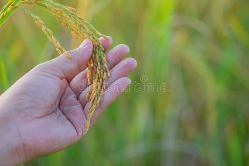 A mão masculina do fazendeiro que toca no arroz no arroz arquivou O conceito toma c fotografia de stock royalty free