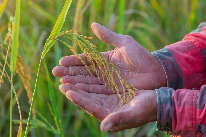 A mão masculina do fazendeiro que toca no arroz no arroz arquivou O conceito toma c fotos de stock