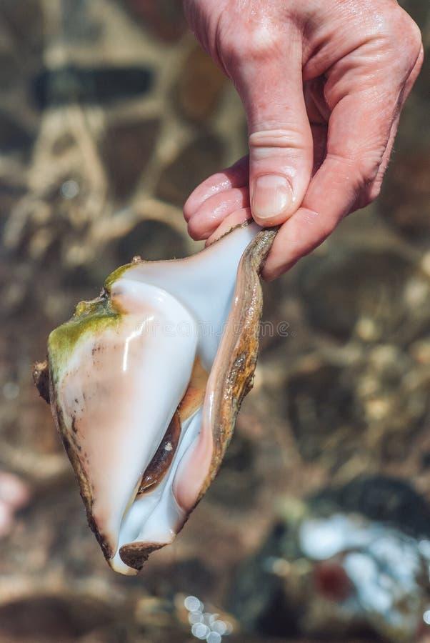 Mão masculina que guarda a concha do mar tropica viva no fundo de uma parte inferior de mar borrada iluminada pela luz do sol bri imagens de stock royalty free
