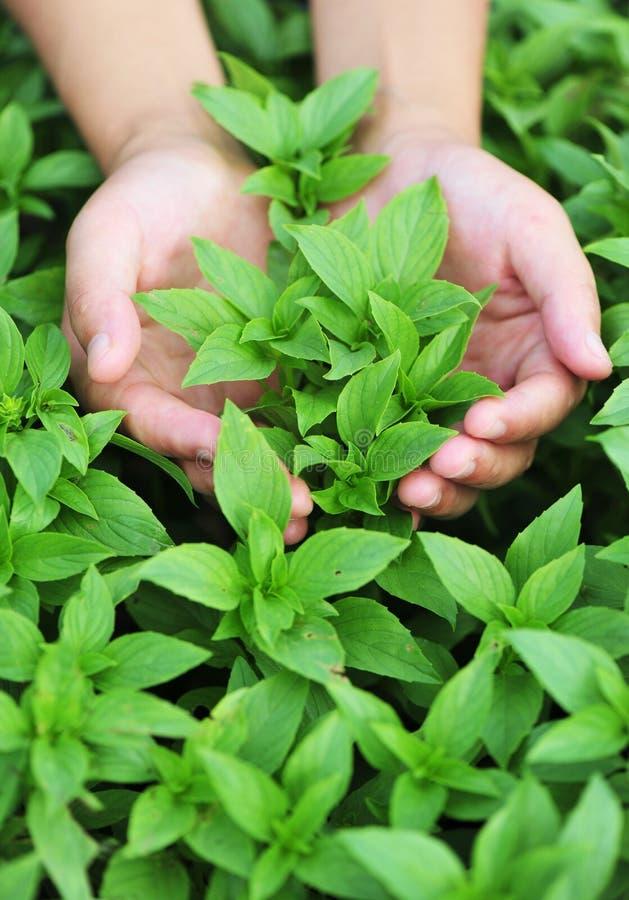 Download A Mão Protege A Planta Verde Imagem de Stock - Imagem de east, oriente: 26508095