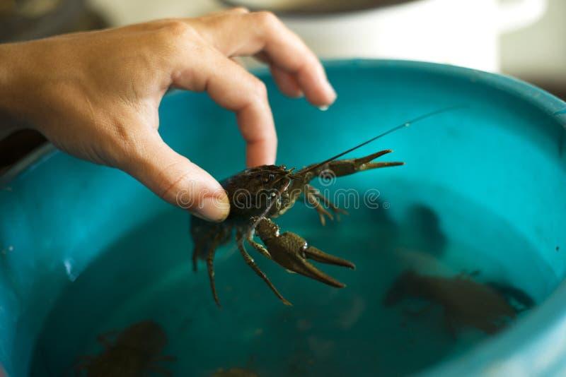 A mão puxa lagostas vivas fora de um close-up da bacia imagens de stock