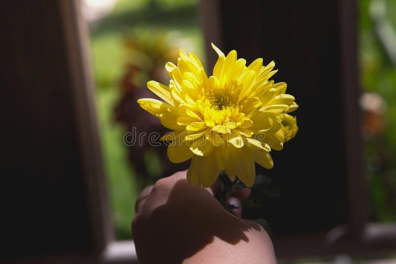 Mão que dá uma flor amarela bonita do mum fotografia de stock
