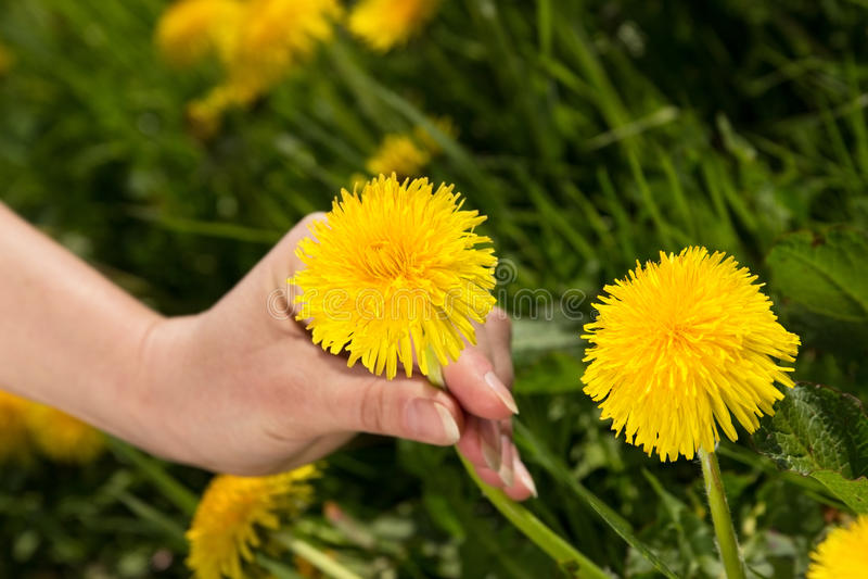 Mão que escolhe uma flor do dente-de-leão foto de stock royalty free