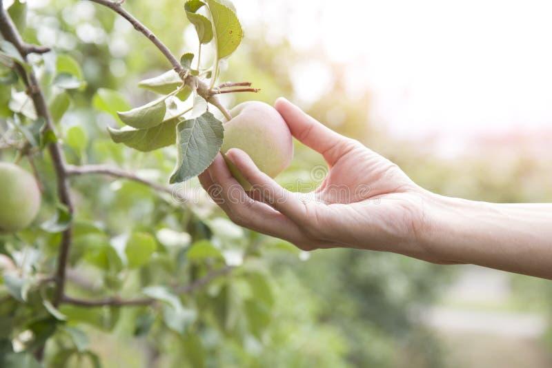 Mão que escolhe uma maçã, árvore de maçã fotos de stock