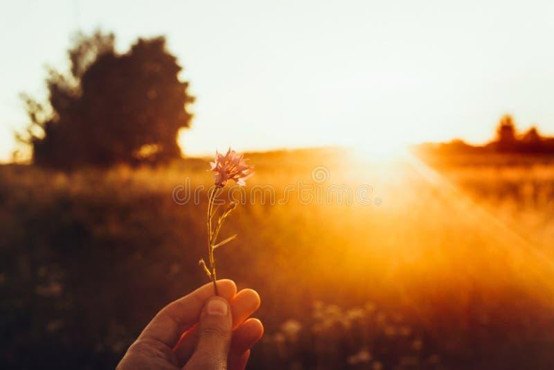 Mão que guarda a centáurea em raios do por do sol no campo do verão wildflow imagem de stock royalty free