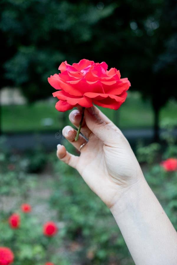 Mão que guarda uma cabeça cor-de-rosa vermelha imagem de stock