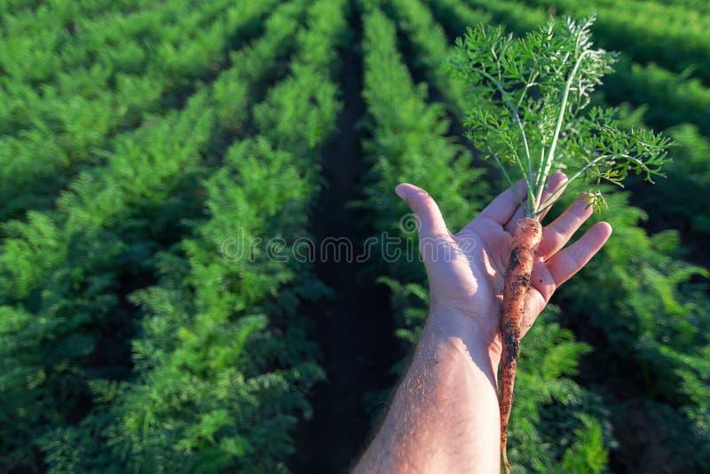 Mão que guarda uma cenoura fresca Campo da cenoura fotos de stock royalty free