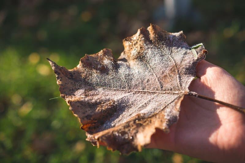 Mão que guarda uma folha marrom congelada fotografia de stock royalty free