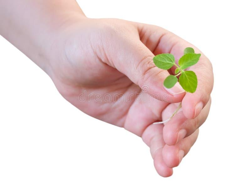 Mão que guarda uma planta nova pequena verde imagem de stock royalty free