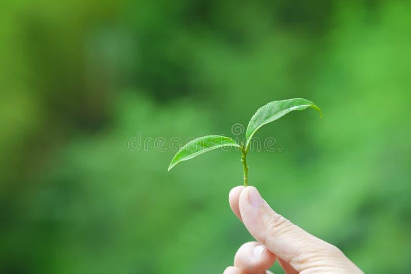 Mão que guardara a folha de chá fotografia de stock