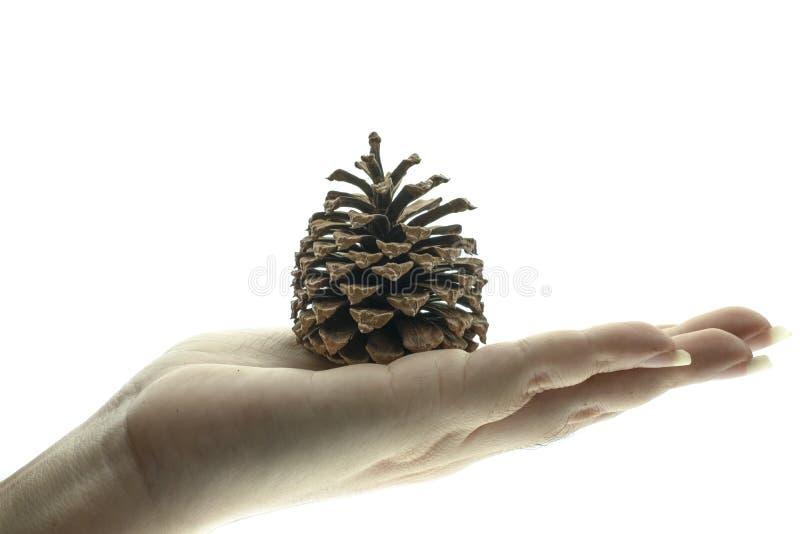Mão que mantém um cone do pinho seco foto de stock
