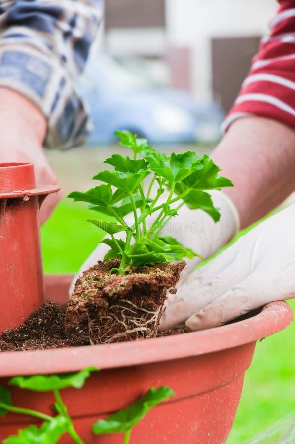 Mão que planta plantas verdes frescas fotos de stock