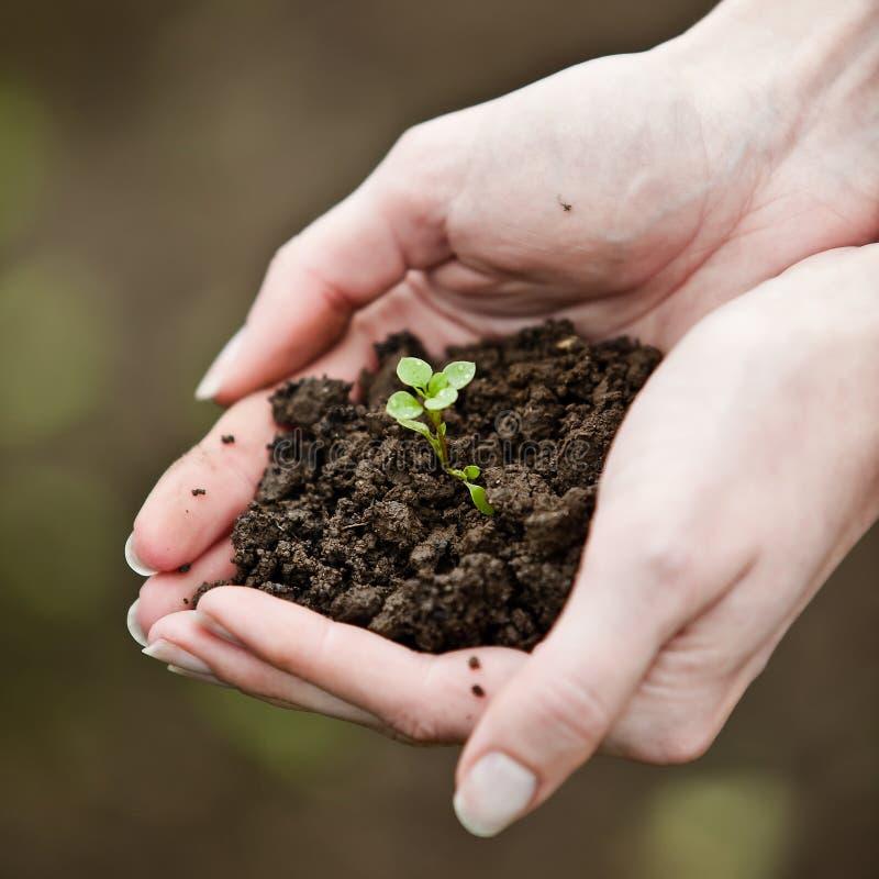 Mão que prende uma planta nova fresca imagem de stock royalty free