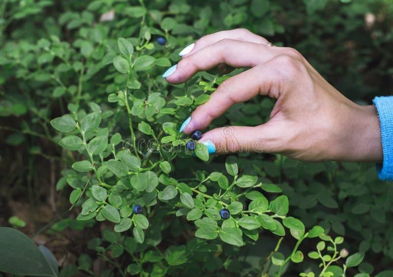 Mão que recolhe mirtilos na floresta fotografia de stock