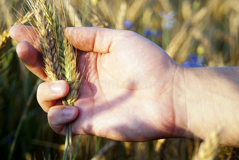 Mão que verific sementes do centeio foto de stock