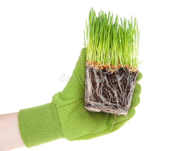 Mão que veste a luva verde que guarda grama encadernada do trigo da raiz foto de stock