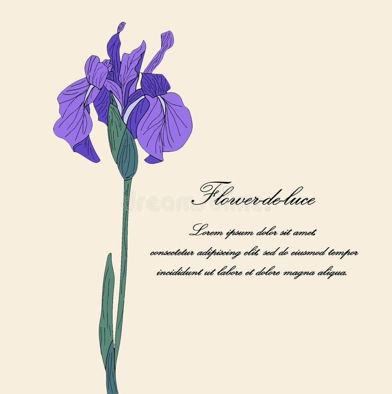 Mão roxa flor tirada da íris no fundo bege claro ilustração do vetor
