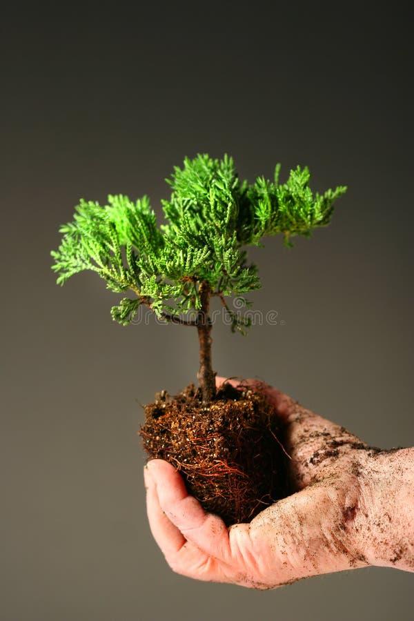 Mão sujada que prende uma árvore pequena foto de stock royalty free