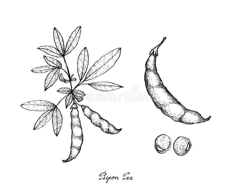 Mão tirada da ervilha de pombo e da planta do Cajan do Cajanus ilustração do vetor