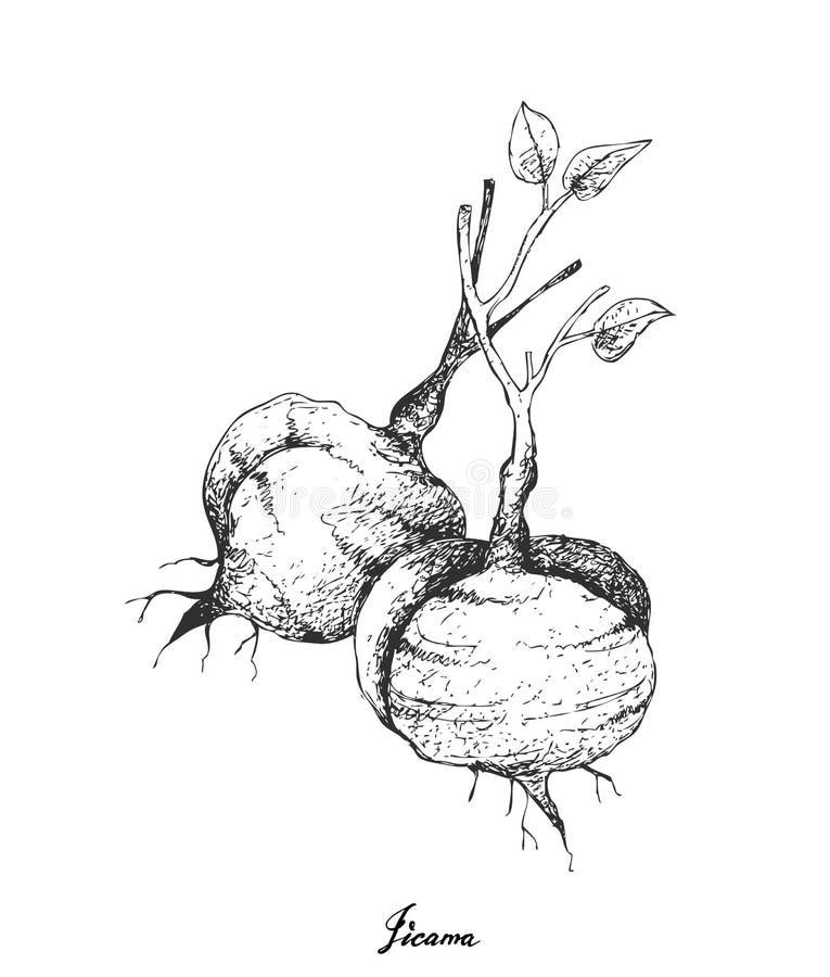 Mão tirada de Jicama fresco no fundo branco ilustração royalty free