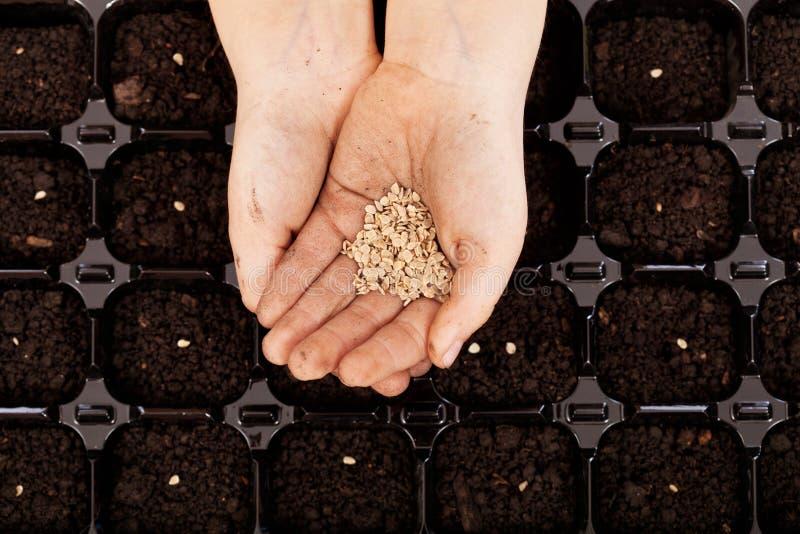 Mãos da criança com as sementes a ser semeadas imagens de stock royalty free