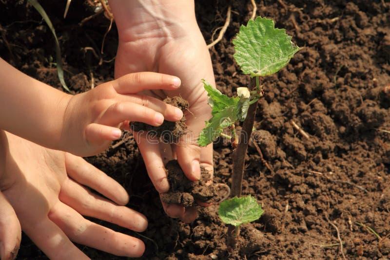 Mãos da criança e da mamã que plantam a videira imagem de stock