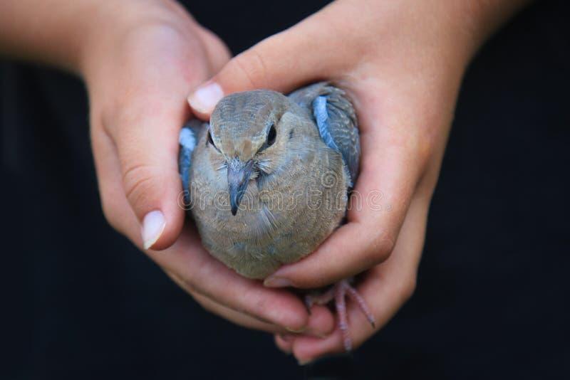 Mãos da criança que prendem um pássaro fotografia de stock
