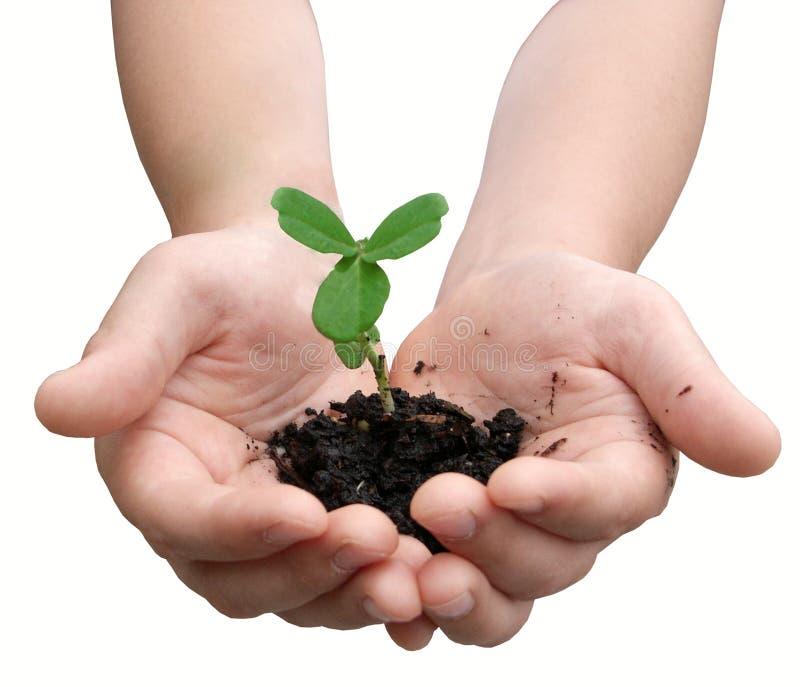 Mãos da criança que prendem uma planta pequena imagem de stock