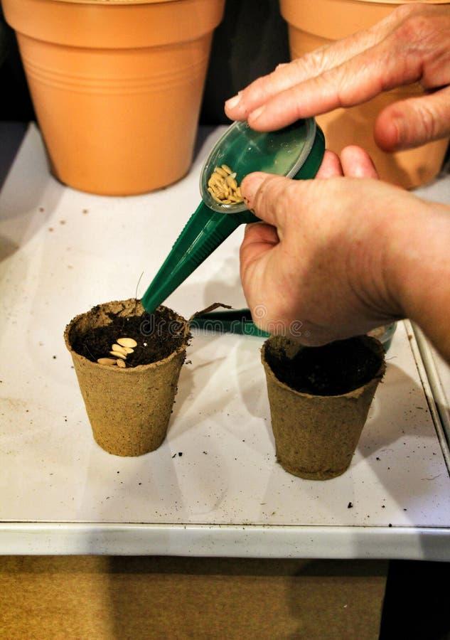 Mãos da mulher adulta que plantam sementes em sementeiras biodegradáveis fotografia de stock