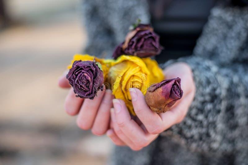 Mãos da mulher que guardam flores secadas das rosas vermelhas e amarelas imagem de stock