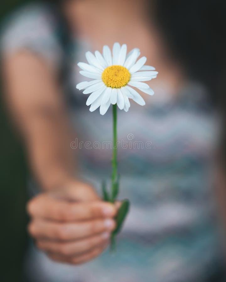 Mãos da mulher que guardam uma flor branca grande da camomila fotografia de stock royalty free