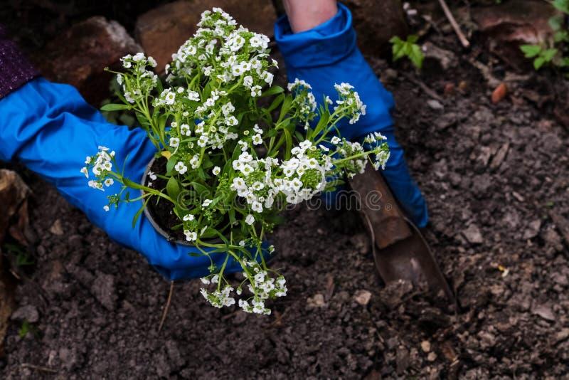 M?os da mulher que plantam uma planta das flores brancas no jardim Trabalho de jardinagem no tempo de mola imagens de stock royalty free