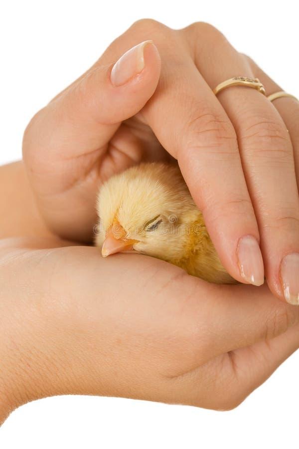 Mãos da mulher que protegem a galinha do bebê do sono fotos de stock