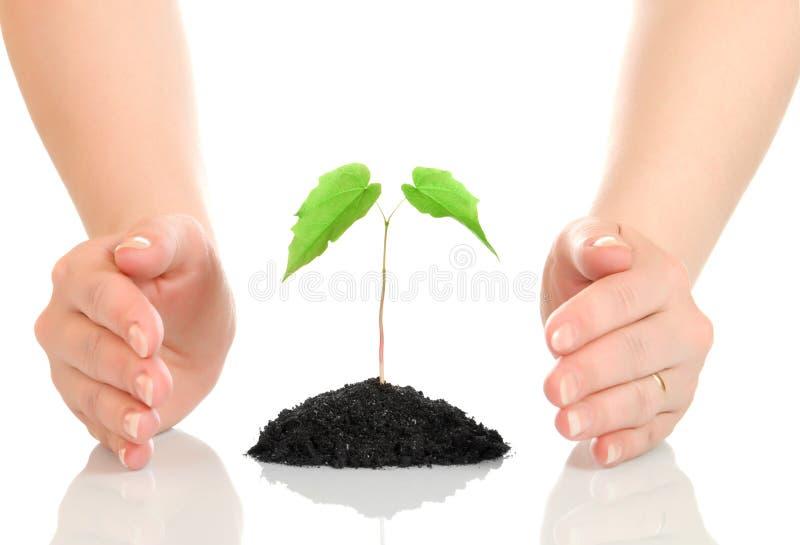 Mãos da mulher que protegem a planta verde pequena fotografia de stock royalty free