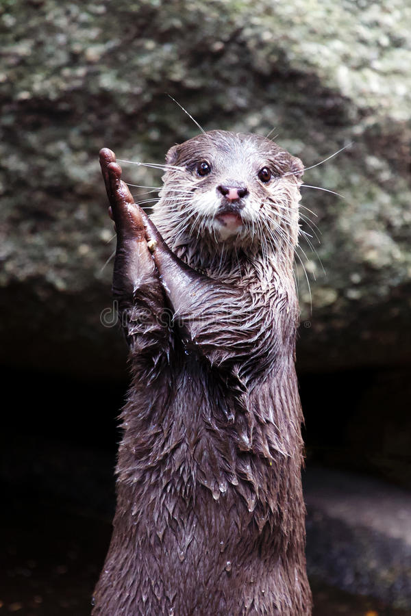 Mãos de aplauso da lontra fotos de stock