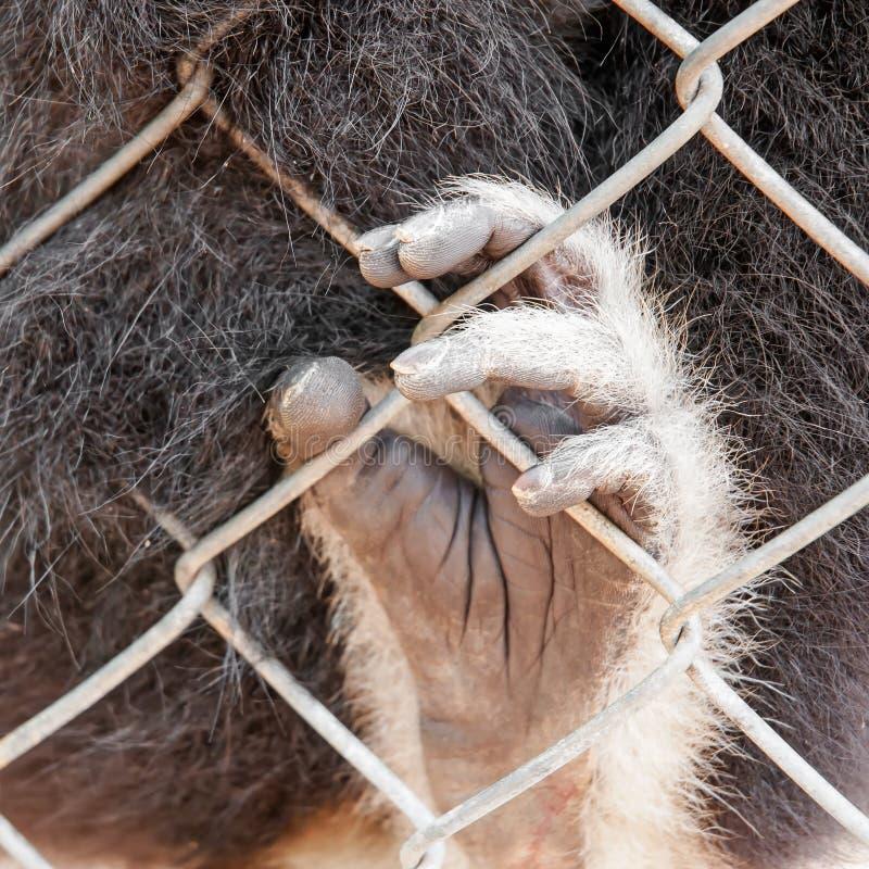 Mãos de Gibbon da gaiola imagem de stock