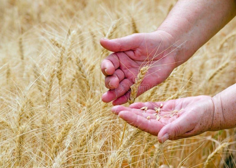 Mãos de inquietação de uma mulher adulta que guarda as orelhas do centeio do trigo, conceito da agricultura fotos de stock