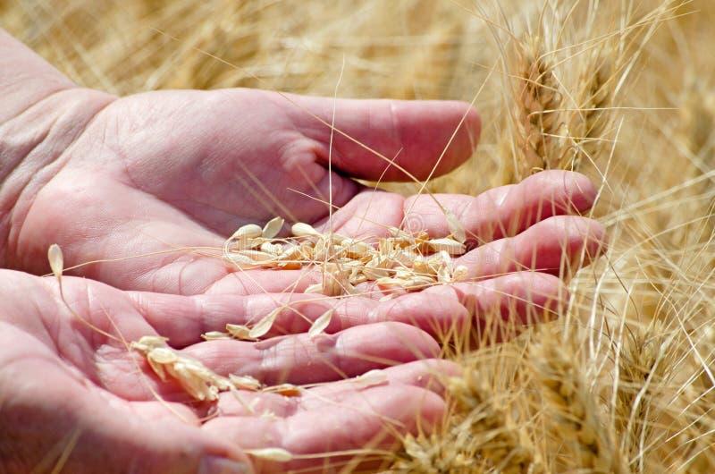 Mãos de inquietação de uma mulher adulta que guarda as orelhas do centeio do trigo, conceito da agricultura foto de stock