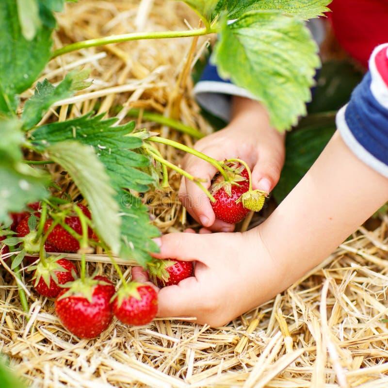 Mãos de morangos da colheita da criança pequena imagens de stock royalty free