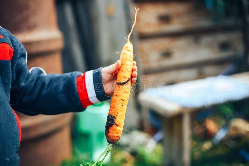 Mãos de um rapaz pequeno que guarda uma cenoura grande imagem de stock