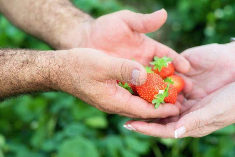 Mãos do fazendeiro e mãos da mulher que guardam o punhado de morangos maduras, campo de exploração agrícola no fundo fotografia de stock
