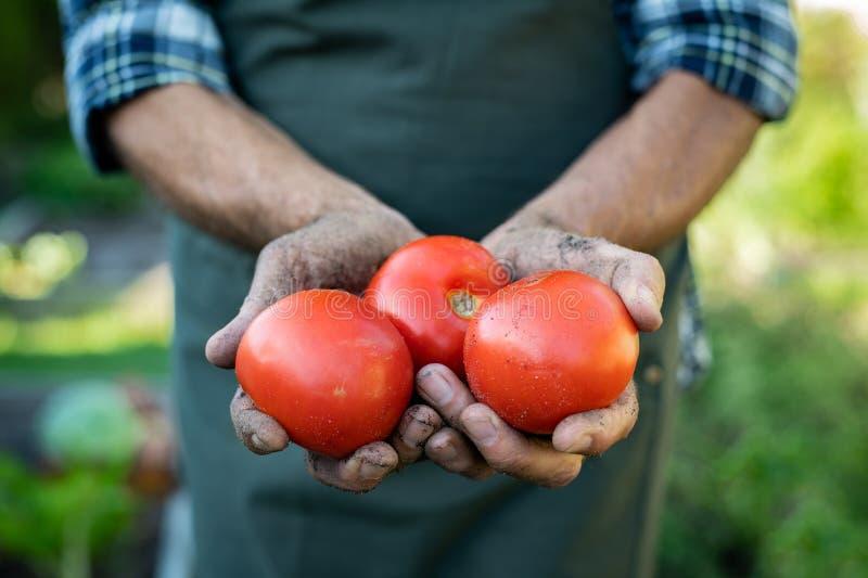 M?os do fazendeiro que guardam tomates imagens de stock