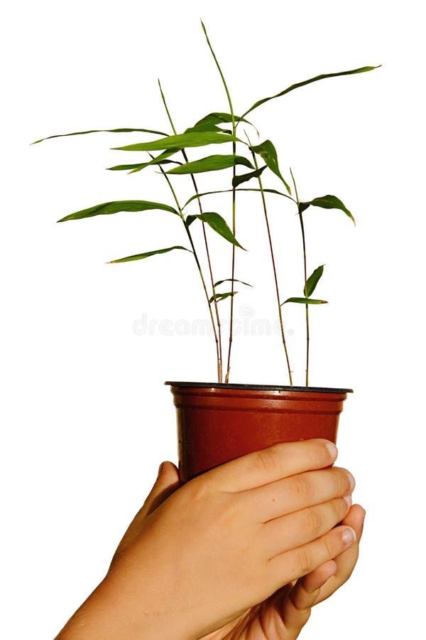 Mãos do menino novo que guardam o vaso de flores plástico com as plântulas edulis do Phyllostachys de bambu de Moso foto de stock
