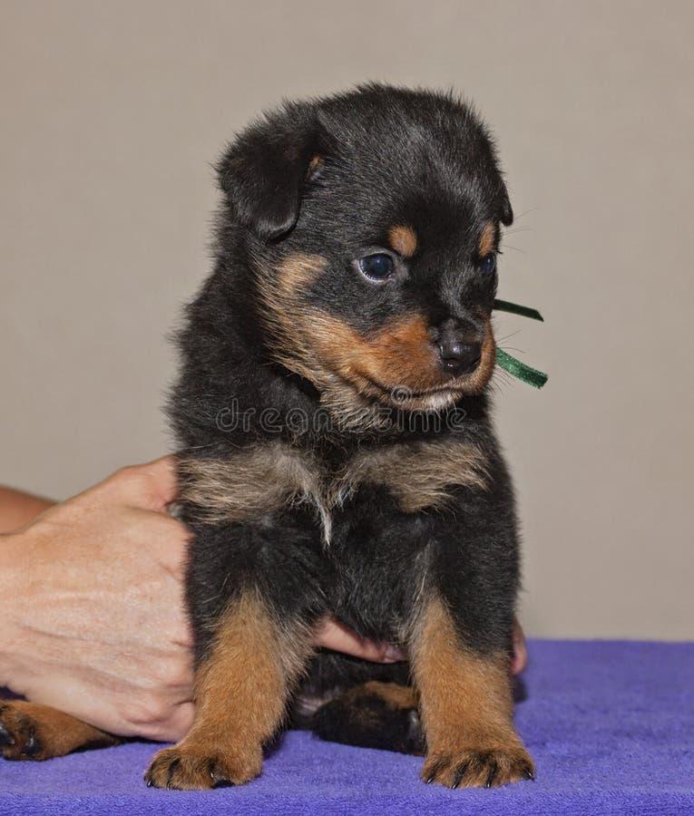 Mãos doces do cachorrinho e do alimentador de Rottweiler do bebê fotografia de stock royalty free