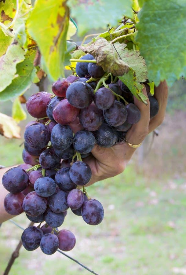 Mãos dos fazendeiros com secateurs do jardim e recentemente as uvas azuis na colheita, região do Chianti, Toscânia, Itália imagens de stock