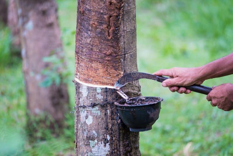 Mãos dos fazendeiros do trabalhador que batem o látex de uma árvore da borracha com faca, no amanhecer imagens de stock