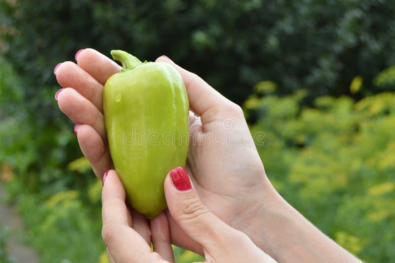 Mãos fêmeas bonitas que guardam a pimenta verde, em um fundo da grama no jardim fotos de stock royalty free