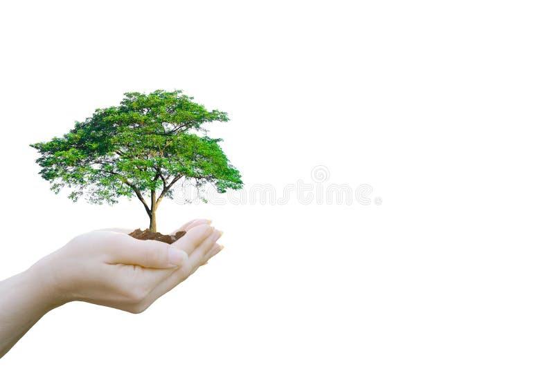 Mãos humanas do conceito da ecologia da exposição dobro que guardam a árvore grande da planta fotos de stock