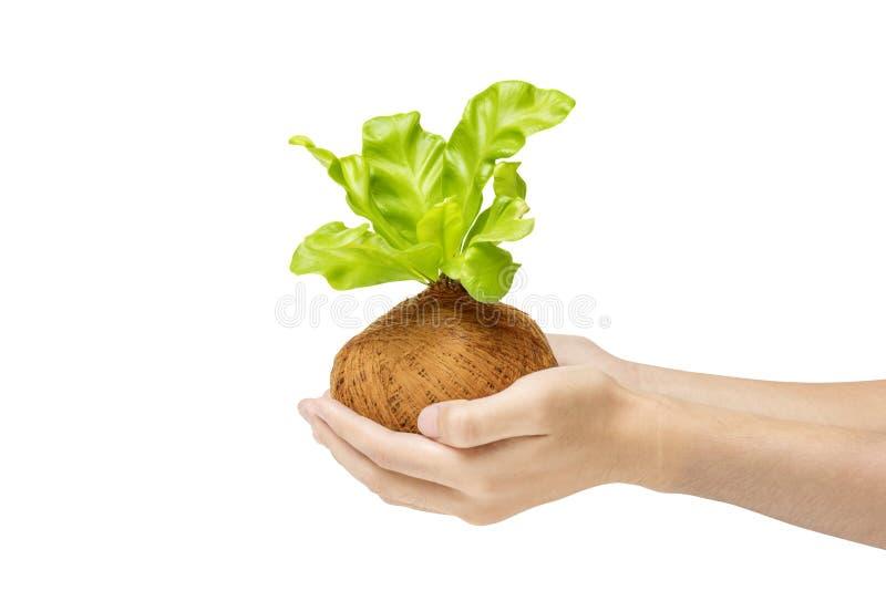 Mãos humanas que guardam a planta verde nova nos potenciômetros fotos de stock royalty free