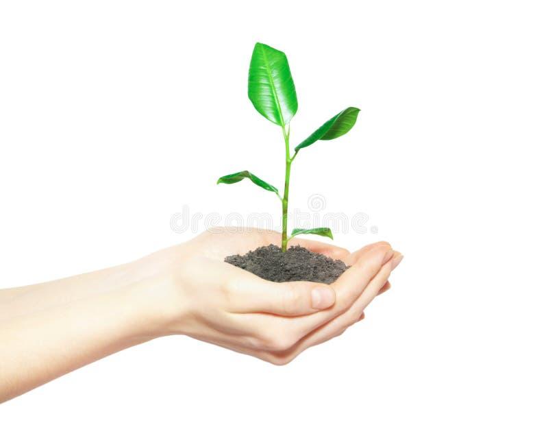 Mãos humanas que prendem a planta pequena verde imagem de stock royalty free